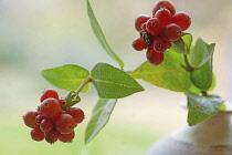 Clustered red berries of Honeysuckle, Lonicera periclymenum.