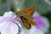 Skipper butterfly on Rose campion flower of white colour flushed with pink.