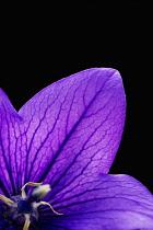 Balloon flower, Platycodon grandiflorus.