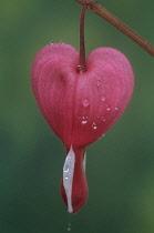 Bleedingheart, Dicentra spectabilis.