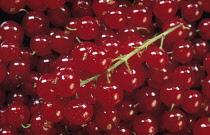 Currant, Redcurrant, Ribes rubrum sativum.