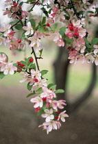 Cherry Plum, Prunus cerasifera.