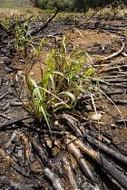Sugar cane, Saccharum officinarum.