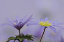 Anemone, Anemone blanda.