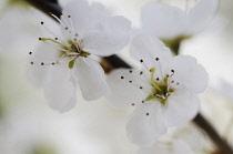 Blackthorn, Prunus spinosa, Sloe.