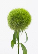 Carnation, Dianthus barbatus 'Temarisou', Green trick series.