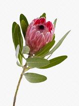 Pink ice, Protea neriifolia x susannae.
