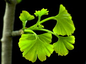 Ginkgo, Maidenhair tree, Gingko biloba.