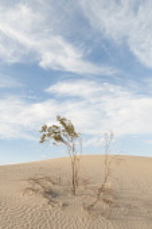 Creosote bush, Larrea tridentata. Creosote Bush, Larrea tridentata, Growing in Death Valley, Arizona, USA.