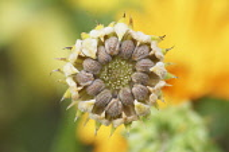 Marigold, Calendula officinalis.