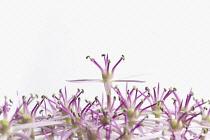 Allium, Allium christophii.