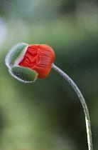 Poppy, Oriental popp, Papaver orientale.