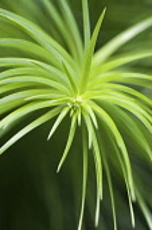 ChinaFir, Cunninghamia Lanceolata.