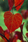 Forest Pansy, Cercis canadensis.