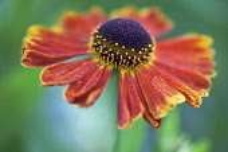 Helen's Flower, Sneezeweed, Helenium 'Moerheim Beauty'.