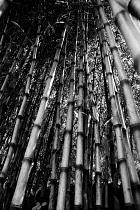Bamboo, Bambusa.