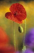 Poppy, Papaver rhoeas.