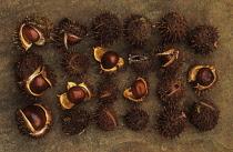 Horse Chestnut, Conker, Aesculus hippocastanum.