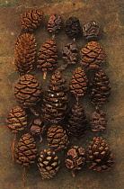 Abies, Picea, Pine, Fir, Pinus.