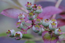 Blueberry, Vaccinium corymbosum.