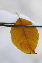 Snow, Leaf.