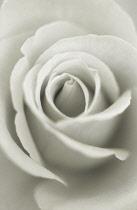 Rose, Rosa.