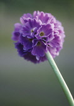 Primrose, Drumstick primrose, Primula, Primula denticulata.