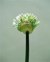 Leek, Allium ampeloprasum.