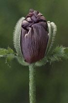 Poppy, Oriental poppy, Papaver orientale 'Patty's Plum'.