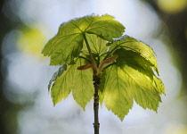 Sycamore, Acer pseudoplatanus.