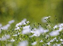 Flax, Perennial flax, Linum perenne.
