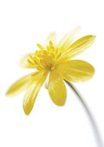 Celandine, Ranunculus ficaria.