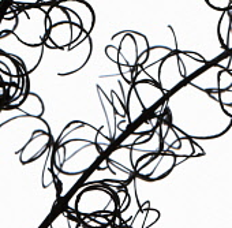 Rosebay Willowherb, Chamerion augustifolium.
