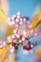 Beautyberry, Callicarpa americana.