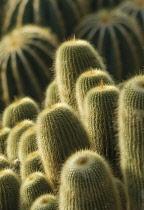 Cactus, Parodia leninghausii.