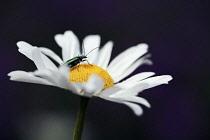Daisy, Ox-eye daisy, Leucanthemum vulgare.