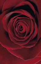 Rose, Rosa 'Black baccara'.