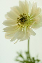 Anemone, Anemone coronaria 'Mount everest'.