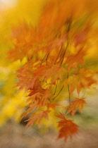 Japanese Maple, Acer palmatum.