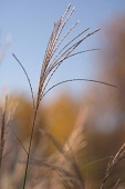 Miscanthus, Chinese SIlver Grass, Miscanthus.