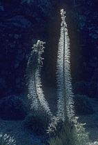 Echium, Tower of Jewels, Echium wildpretii.
