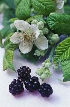 Blackberry, wild, Rubus fruticosus.