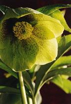 Hellebore, Helleborus hybridus 'Emerald Queen'.