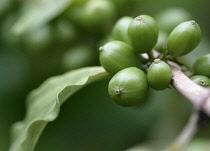 Coffee, Coffea arabica.