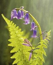Bluebell, English bluebell, Hyacinthoides non-scripta.