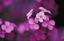 Wallflower, Perennial wallflower, Erysimum 'Bowles Mauve'.