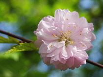 Cherry, Prunus 'Amanogawa'.