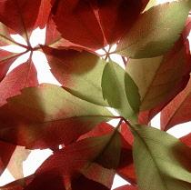 Virginia creeper, Parthenocissus henryana.