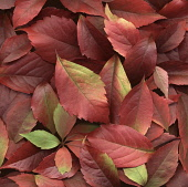 Virginia creeper, Parthenocissus henryana.