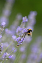 Lavender, Lavandula 'Hidcote'.